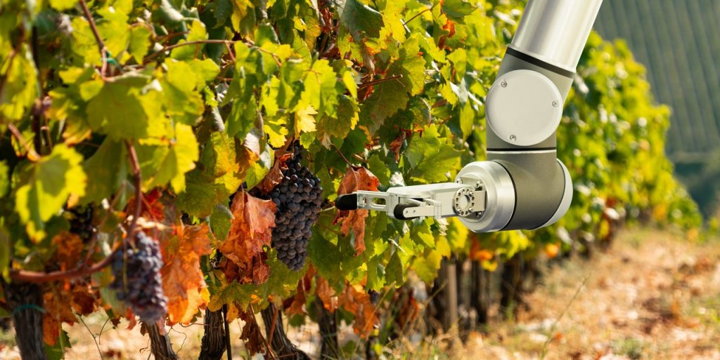 Collaborative Robots being used in vineyards for picking grape vine